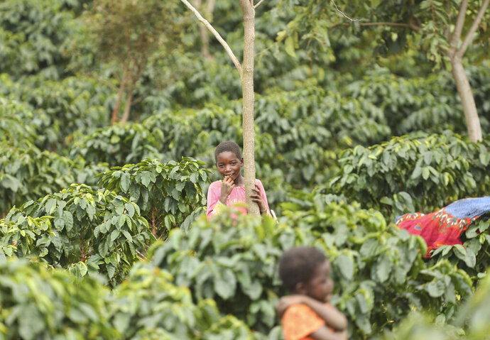 Children play in a coffee plantation in Mount Gorongosa, Mozambique in this Sunday, Aug. 3, 2019 photo. On the slopes of Mount Gorongosa, more than 100 farmers are producing coffee that earns them incomes while at the same time restores the rapidly eroding rainforest. With peace on the mountaintop there are plans to dramatically scale up coffee production, as part of Gorongosa National Park's innovative plan to boost the incomes of people living around the park as well as revitalizing the environment. (AP Photo/Tsvangirayi Mukwazhi)