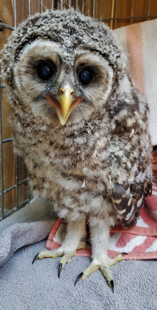 This 2019 photo provided by Vermont Institute of Natural Science shows a baby barred owl that was brought to the Center for Wild Bird Rehabilitation at the Vermont Institute of Natural Science's in Quechee, Vt., after the tree his nest cavity was in was cut down. The owl was one of 77 barred owls that was treated at the nonprofit in 2019. . (Grae O'Toole/Vermont Institute of Natural Science via AP)