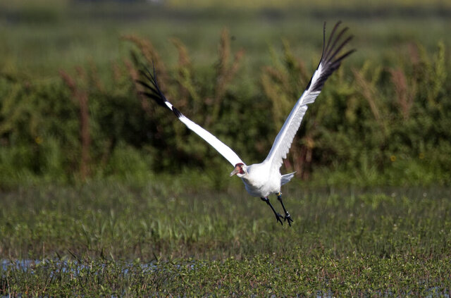 FILE - In this March 23, 2018 file photo, a whooping crane, a critically endangered species, flies away from its nest with eggs, in a crawfish pond in St. Landry Parish, La.  There's a $5,000 reward for information about whoever shot and killed an endangered whooping crane in southwest Louisiana in November 2019. Department of Wildlife and Fisheries enforcement spokesman Adam Einck says the crane's body was found Nov. 15 in a rice and crawfish field in the town of Elton in Jefferson Davis Parish. A necropsy determined that it had been a shot and killed a day or two earlier. Einck says there's also still a $6,000 reward out for tips leading to the arrest and conviction of whoever shot a whooping crane in Acadia Parish in November 2018.(AP Photo/Gerald Herbert, File)