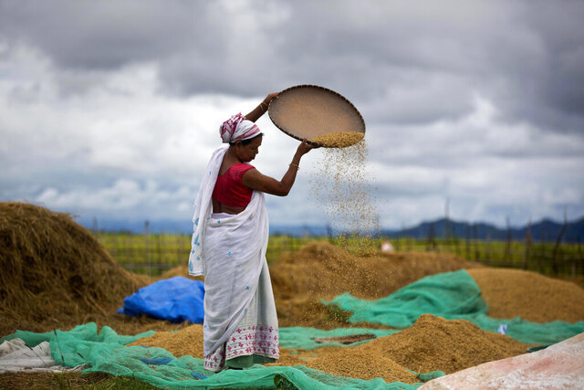 FILE-In this June 13, 2018 file photo, an Indian woman separates grain from the husk in a paddy field in Mayong village on the outskirts of Gauhati, India,. Amid an uproar in Parliament, Indian lawmakers on Sunday approved a pair of controversial agriculture bills that the government says will boost growth in the farming sector through private investments. (AP Photo/Anupam Nath, File)