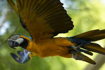 A blue-and-yellow macaw that zookeepers named Juliet flies outside the enclosure where macaws are kept at BioParque, in Rio de Janeiro, Brazil, Wednesday, May 5, 2021. Juliet is believed to be the only wild specimen left in the Brazilian city where the birds once flew far and wide.(AP Photo/Bruna Prado)