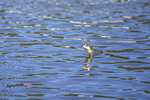 In this photo provided by the California Department of Fish and Wildlife, a juvenile Chinook salmon leaps from the raceway at the Iron Gate Fish Hatchery, Siskiyou County, Calif., July 7, 2021. Baby salmon are dying in the thousands in one river and an entire run of endangered salmon could be wiped out in another due to blistering  heat waves and extended drought in the U.S. West. Recently California fish and wildlife officials decided not to release more than 1 million hatchery-raised baby chinook salmon into the wild, and instead drove them to several hatcheries that could host them until Klamath River conditions improve. (Travis VanZant/CDFW via AP)