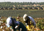 Farmers gather cotton as Turkish army tanks are seen at a staging area close to the border with Syria in Sanliurfa province, southeastern Turkey, Thursday, Oct. 17, 2019. U.S. Vice President Mike Pence and State Secretary Mike Pompeo were scheduled to arrive in Ankara and press Turkey's President Recep Tayyip Erdogan to accept a ceasefire in northeast Syria. (AP Photo/Emrah Gurel)