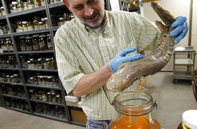 FILE - In this March 23, 2012, file photo, Ned S. Gilmore, collections manager of vertebrate zoology, shows a hellbender salamander in the collection at the Academy of Natural Sciences in Philadelphia. Pennsylvania is getting an official amphibian, a nocturnal salamander that can grow to be more than two feet long. The House voted 191-6 on Tuesday, April 16, 2019, to grant the honor to the Eastern hellbender, and Gov. Tom Wolf's office said he plans to sign it. AP Photo/Alex Brandon, File)