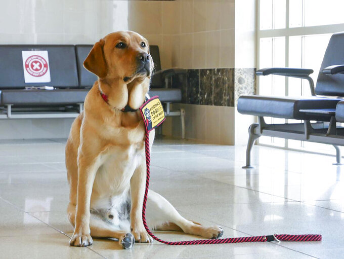 This Sept. 9, 2021, photo, shows Judge, a 3-year-old yellow Lab, awaiting instructions while sitting in the hallway of the downtown courthouse in Santa Fe, N.M. He is the first courthouse facility dog to be employed by District Attorney Mary Carmack-Altwies' office in a collaborative effort with Assistance Dogs of the West. (Matt Dahlseid/Santa Fe New Mexican via AP)