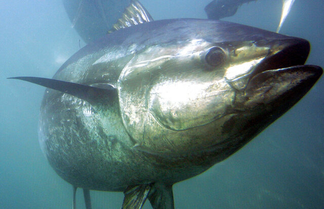 FILE - In this March 5, 2007 file photo, a bluefin tuna swims inside farming pens prior to harvest near Ensenada, Mexico. Countries involved in managing bluefin tuna fisheries are set to face-off over a Japanese proposal to raise its catch quotas for the fish, highly prized for sushi and sashimi.  At an online meeting that began Tuesday, Oct. 6, 2020,  Japan is seeking to raise its catch limits for both smaller and larger bluefin tuna by 20%. (AP Photo/Chris Park, File)