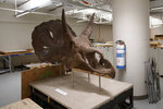 The head of an Nedoceratops hatcheri is seen in the paleobiology prep lab at the Smithsonian's National Museum of Natural History in Washington, Tuesday, June 4, 2019. The Smithsonian's National Museum of Natural History will reopen its dinosaur and fossil hall to the public on June 8, 2019. The 31,000-square-foot exhibition hall will feature an authentic Tyrannosaurus rex skeleton. (AP Photo/Carolyn Kaster)