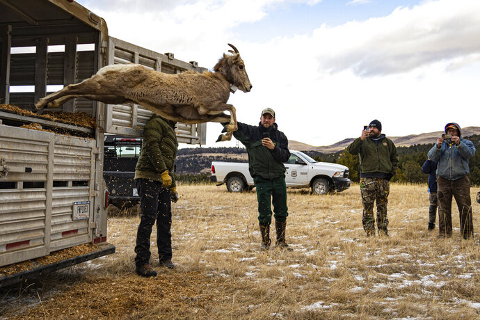 In this image provided by Montana Fish, Wildlife and Parks, bighorn ewe springs from a specially made trailer used for bighorn sheep transfers while being released along the South Fork of the Judith River in the Helena-Lewis and Clark National Forest in Montana on Dec. 16, 2020. Montana wildlife officials have transplanted 49 bighorn sheep into the Little Belt Mountains, in an effort to create a new herd. (Morgan Jacobsen/Montana Fish, Wildlife and Parks via AP)