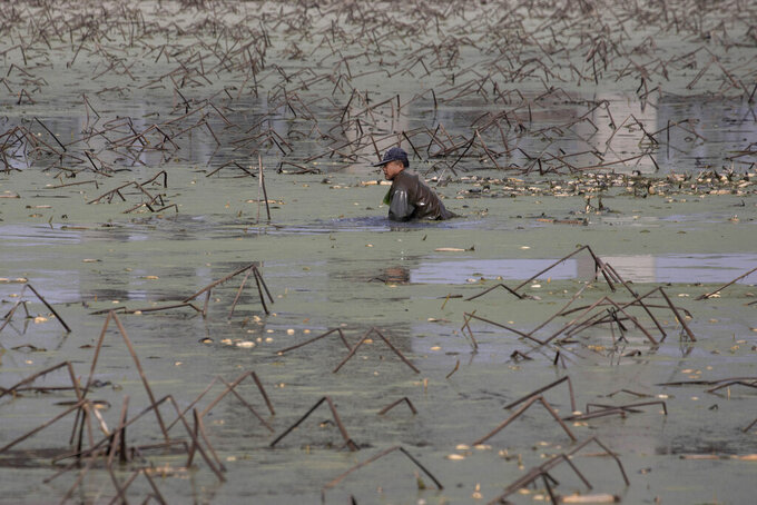 In this April 6, 2020, photo, a worker tries to remove rotting aquatic tubers known as lotus roots in the Huangpi district of Wuhan in central China's Hubei province. Chinese leaders are eager to revive the economy, but the bleak situation in Huangpi in Wuhan's outskirts highlights the damage to farmers struggling to stay afloat after the country shut down for two months. (AP Photo/Ng Han Guan)