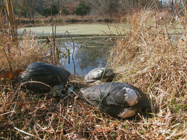This Nov. 21, 2019 photo shows dead Chinese pond mussels that were found in a network of ponds in Franklin Township, N.J.  A colony of giant invasive Chinese mussels has been wiped out from the New Jersey pond. They had threatened to spread to the Delaware River and wreak ecological havoc, as they already are doing in other parts of the world. Officials say they're confident they've narrowly avoided a serious environmental problem by eradicating the mussels from a former fish farm in Hunterdon County.  (AP Photo/Wayne Parry)