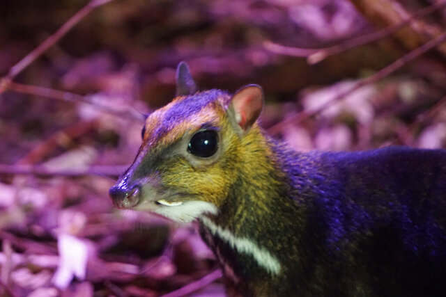 In this Thursday,  June 4, 2020 photo provided by the Wroclaw Zoo a rare Philippine mouse-deer is hiding in a thicket at the Zoo in Wroclaw, Poland. The zoo was the first one ever to record on video the birth of a mouse-deer on Tuesday, Nov. 10, 2020 but experts have not yet been able to determine the sex of the young, recluse animal. There are only 12 animals of this highly endangered species in Europe's zoos, including just one confirmed male. and experts are hoping the young one is a male and will help the population grow. (AP Photo/Zoo Wroclaw)