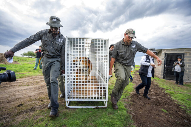 Stripes, one of 17 rescued tigers and lions from Guatemala circuses is released at the Animal Defenders International Wildlife Sanctuary in Winburg, South Africa, Tuesday Jan. 21, 2020. (AP Photo/Jerome Delay)