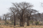 In this photo taken Wednesday, Sept. 20, 2017, baobab trees grow alongside one another in a field in Chimanimani, Zimbabwe. Africa's ancient baobab, with it's distinctive swollen trunk and known as the