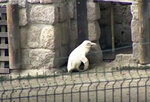 In this image made from video, an albino penguin is seen along in its enclosure in Gdansk zoo, Gdansk, Poland, Friday, March 22, 2019. An extremely rare white penguin has made its public debut at the Gdansk zoo in northern Poland. The albino penguin hatched in mid-December and has been under veterinary care. In natural conditions such unusual-looking penguin would be rejected by other penguins and would have little chance of survival. (AP Photo)