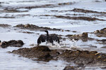 FILE - In this May 21, 2015 file photo, a bird covered in oil flaps its wings at Refugio State Beach, north of Goleta, Calif., two days after an oil pipeline ruptured, polluting beaches and killing hundreds of birds and marine mammals. A company that caused the worst California coastal oil spill in 25 years has been fined more than $3.3 million. A judge in Santa Barbara issued the fine and penalty Thursday, April 25, 2019, against Houston-based Plains All American Pipeline. (AP Photo/Jae C. Hong, File)